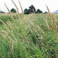 Reed canarygrass ready to harvest